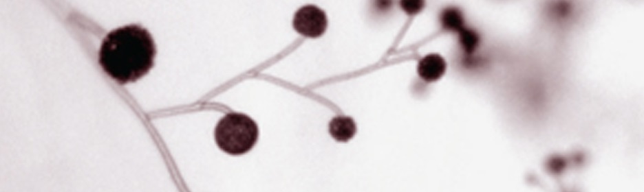 Sporangiophores of Mucor circinelloides